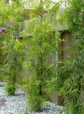 Fern Pine - Podcarpus gracillor