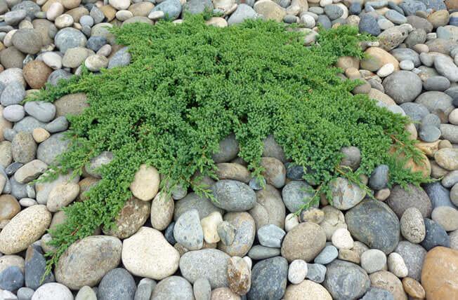 Japanese garden juniper landscaping plants in san francisco for Good plants for japanese garden